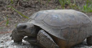 Get Ready to Welcome Oakmont's New Gopher Tortoise Reserve