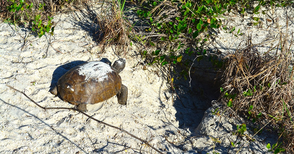 Meet Your Neighbors: Why It's Important to Protect Gopher Tortoises - DSC 0143
